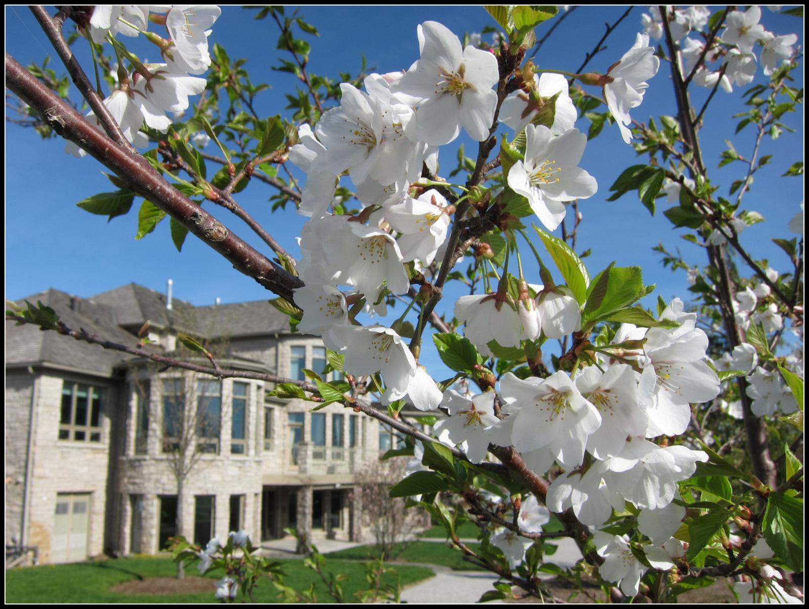 Sakura blooms in Springtime at Sakura House